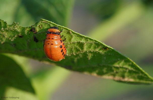 Marienkäferlarve