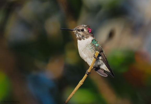 BIENENELFE, BEE-HUMMINGBIRD, MELISUGA HELENAE