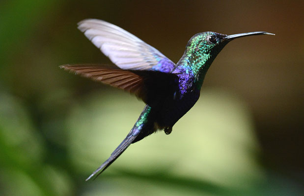 VIOLETKRONENNYMPHE, VIOLET-CROWNED WOODNYMPH, THALURANIA COLUMBICA