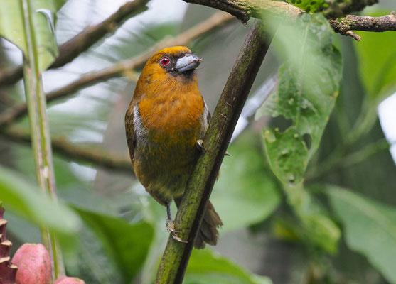 Ein amerikanischer Bartvogel ist der Aztekenbartvogel (Prong-billed Barbet - Semnornis frantzii), der ein Endemit  in Costa-Rica und im westlichen Panama ist.