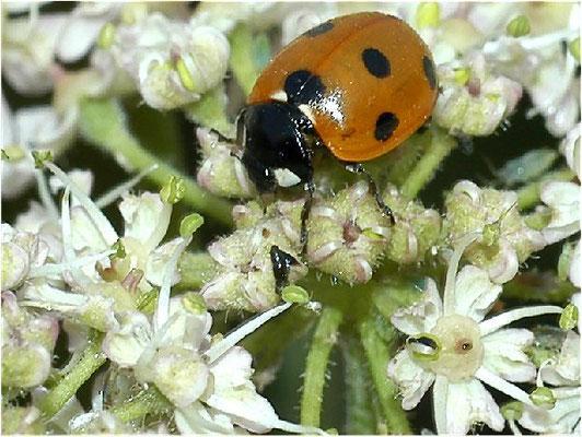Auf Blüten findet man den Siebenpunkt-Marienkäfer häufig, hier auf Bärenklau.