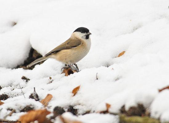 Sumpfmeise im Schnee