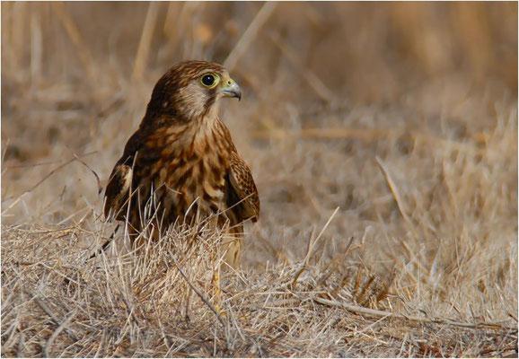 Turmfalke (Kestrel, Falco tinnunculus canariensis)- die kanarische Unterart des Turmfalken