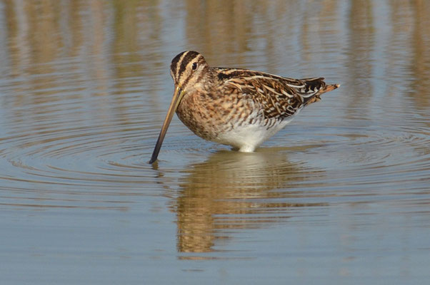 BEKASSINE, COMMON SNIPE, GALLINAGO GALLINAGO