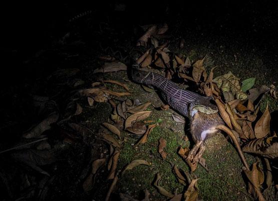 Terciopelo-Lanzenotter: diese Schlange ist sehr giftig, gilt als leicht erregbar  und  bewegt sich sehr schnell.  Sie kann über 2 Meter lang werden.