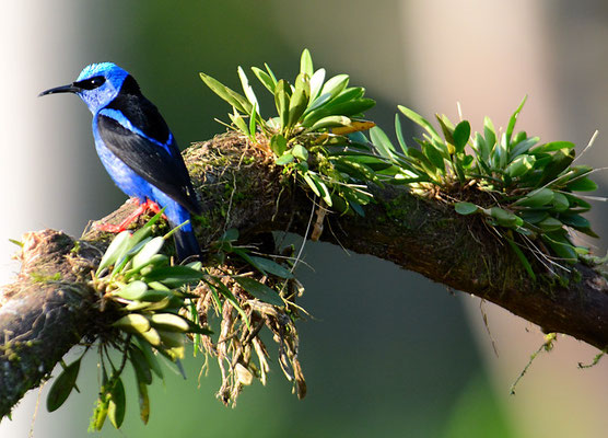 TÜRKISNASCHVOGEL, RED-LEGGED HONEYCREEPER, CYANERPES CYANEUS