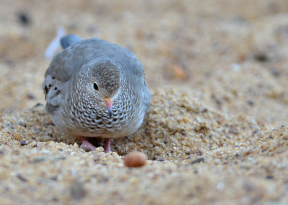 SPERLINGSTÄUBCHEN, COMMON GROUND DOVE, COLUMBINA PASSERINA