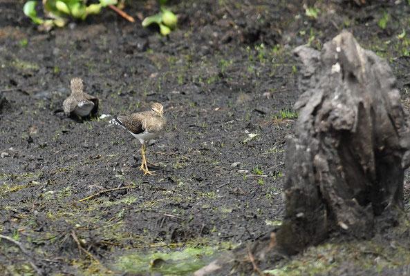 Einsamer Waldläufer, Solitary sandpiper, Tringa solitaria