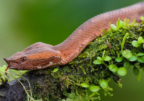 Stülpnasen-Lanzenotter (Porthidium nasutum): Diese Schlange bringt lebende Junge zur Welt.