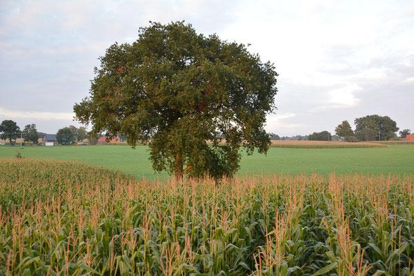 Freistehende Feldbäume gibt es nur wenige.