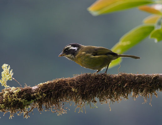WEISSBRAUEN-BUSCHTANGARE, SOOTY-CAPPED BUSH-TANAGER, CHLOROSPINGUS PILEATUS