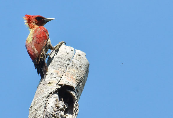 MENNIGSPECHT, BANDED WOODPECKER, PICUS MINEACEUS