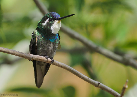 WEISSKEHLNYMPHE,  WHITE-THROATED MOUNTAIN-GEM, LAMPORNIS CASTANEOVENTRIS