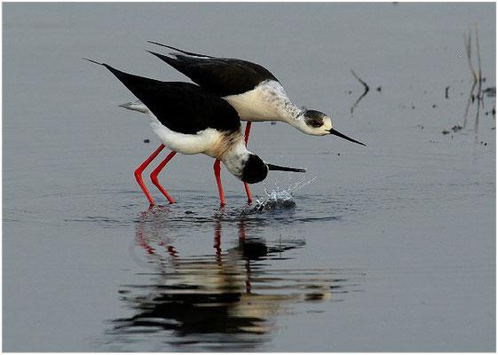 Diesmal lässt das Männchen von der rechten Seite das Wasser hoch spritzen.