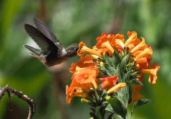 VULKANELFE, VOLCANO HUMMINGBIRD, SELASPHORUS FLAMMULA