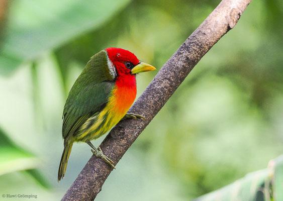Der Andenbartvogel ( Red-headed Barbet-Aulacorhynchus prasinus) kommt ebenfalls -wenn auch nicht häufig- in Costa Rica zwischen 400 und 1800 m Höhe vor.