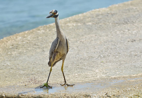 KRABBENREIHER, YELLOW-CROWNED NIGHT HERON, NYCTINASSA VIOLACEUS