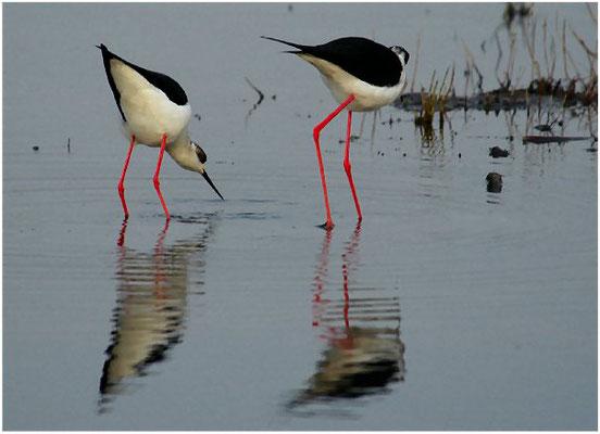 Das Weibchen fordert das Männchen zur Paarung auf, es neigt Rumpf und Kopf leicht.