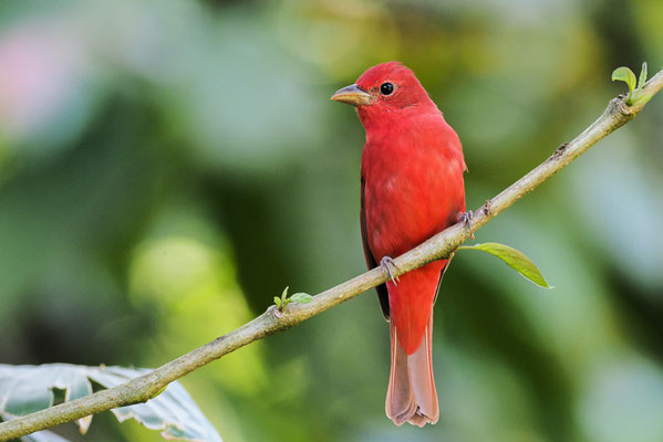 SOMMERTANGARE, SUMMER TANAGER, PIRANGA RUBRA
