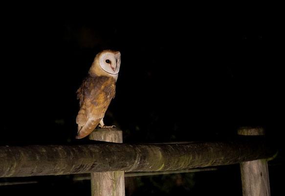 SCHLEIEREULE, BARN OWL, TYTO ALBA