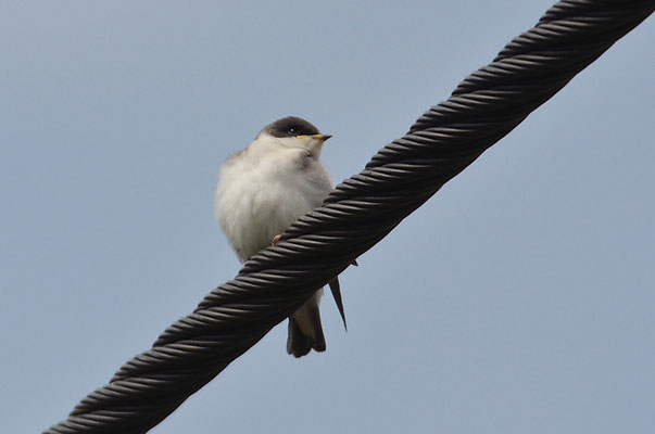 SUMPFSCHWALBE, TREE SWALLOW, TACHYCINETA BICOLOR