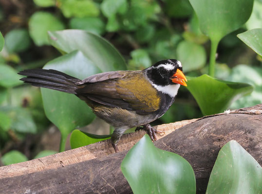 GOLDSCHNABEL-RUDERAMMER, ORANGE-BILLED SPARROW, ARREMON AURANTIIROSTRIS