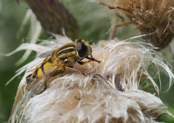 Große Sumpfschwebfliege, Helophilus trivittatus