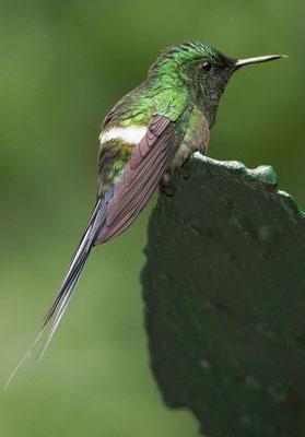 GRÜNE FADENELFE, GREEN THORNTAIL, DICOSURA CONVERSII - COSTA RICA