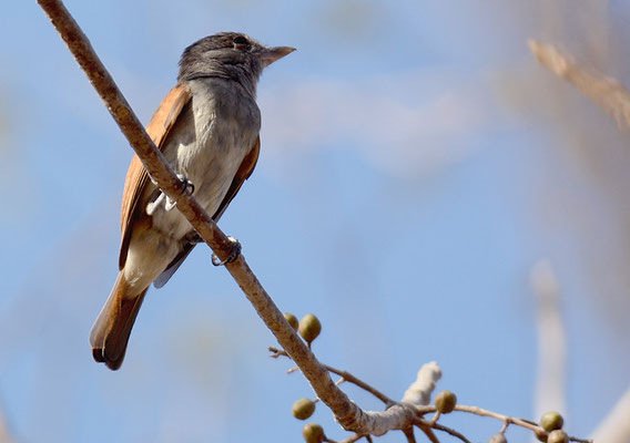 ROSENKEHL-BEKARDE, ROSE-THROATED BECARD, PACHYRAMPHUS AGLAIAE
