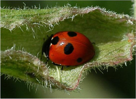 Der Fünfpunkt wird 3-5 mm lang, jagt Blattläuse an Gräsern und Kräutern und ist selten bis mäßig häufig.