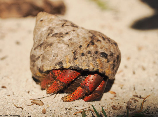 Auf Cayo Iguana lebten Zigtausende dieser Einsiedlerkrebse.