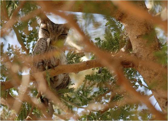 Afrika-Zwergohreule, African Scops-owl, Otus senegalensis