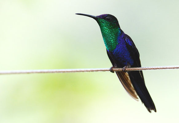 VIOLETTKRONENNYMPHE, VIOLET-CROWNED WOODNYMPH, THALURANIA COLUMBICA