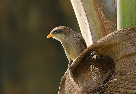 GELBSCHNABELWÜRGER, YELLOW-BILLED SHRIKE, CORVINELLA CORVINA
