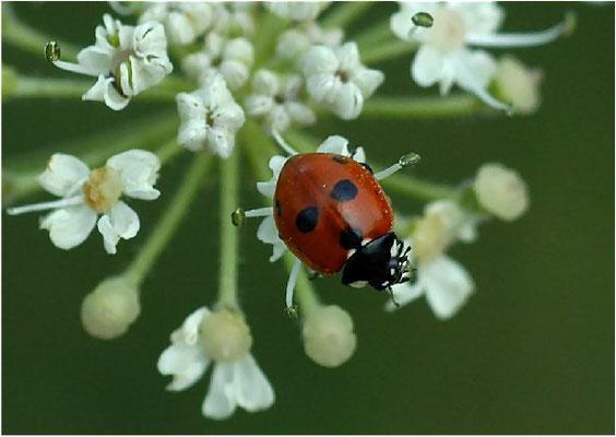 Der Fünfpunktige Marienkäfer (Coccinella quinquepunctata) kommt sowohl an feuchten und trockenen Standorten vor