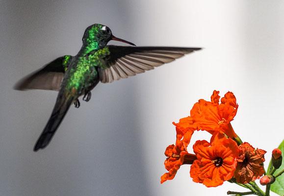 Selbst mitten in Havanna kommt der Kubasmaragdkolibri vor, der außer auf Kuba auch auf den Bahamas vorkommt. Ein paar Blüten sollten aber schon zu finden sein!