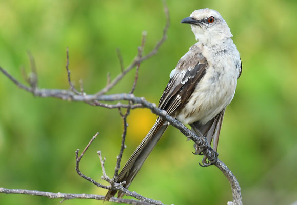Campos-Spottdrossel, Chalk-browed mockingbird, Mimus saturninus