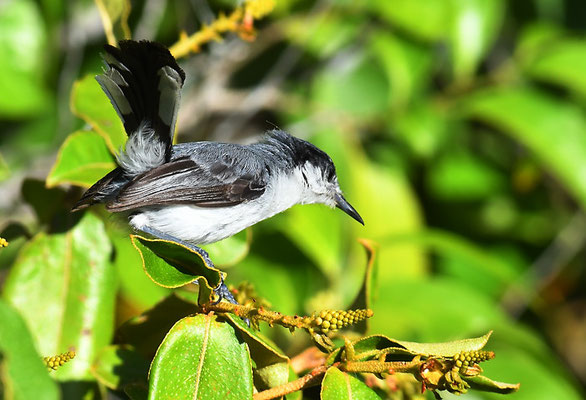 Amazonasmückenfänger, Tropical gnatcatcher, Polioptila plumbea