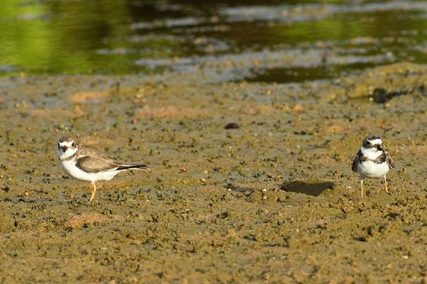Amerikanischer Sandregenpfeifer, Semipalmated plover, Charadrius semipalmatus