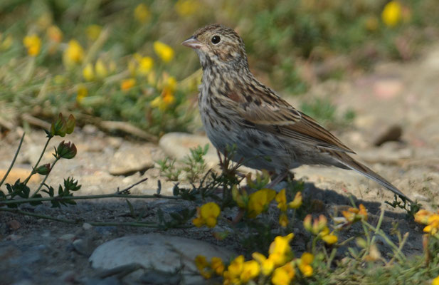 Abendammer, Vesper sparrow, pooecetes gramineus