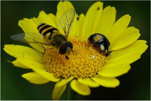 Den Zweipunkt gibt es als roten Käfer mit schwarzen Flecken und als schwarzen Käfer mit roten Flecken. Mit der Großen Schwebfliege (Syrphus ribesii) teilt er die Vorliebe für Blattläuse.