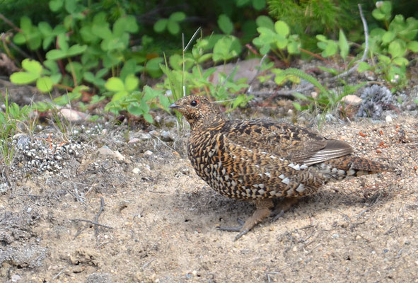 TANNENHUHN, SPRUCE GROUSE, FALCIPENNIS CANADENSIS