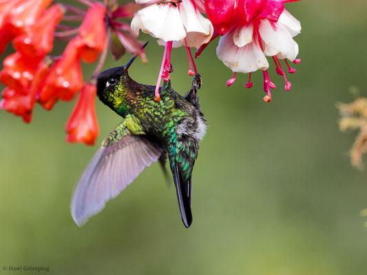 TALAMANCA-KOLIBRI, ADMIRABLE HUMMINGBIRD, EUGENES SPECTABILIS