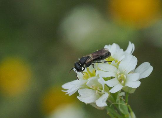 Gewöhnliche Maskenbiene, Hylaeus communis