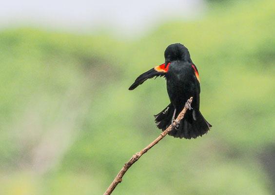 ROTSCHULTERSTÄRLING, RED-WINGED BLACKBIRD, AGELAIUS PHOENICUS