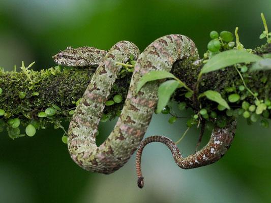 Schlegelsche Lanzenotter (Bothriechis schlegelii): Die nachtaktive, baumbewohnende Schlange braucht den feuchten Dschungel und die Regenwälder, von wo aus sie in angrenzende Plantagen eindringt.