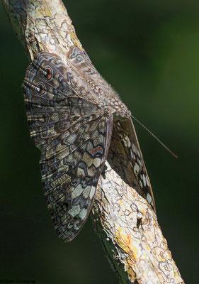 Perfekt getarnter Schmetterling