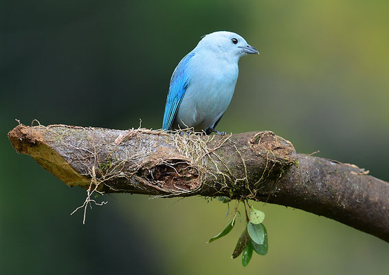 BLAUTANGARE (BISCHOFSTANGARE), BLUE-GRAY TANAGER, THRAUPIS EPISCOPUS
