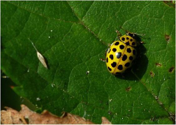 Der Zweiundzwanzigpunkt (Psyllobora vigintiduopunctata) ist eine häufige Art trockener Standorte.