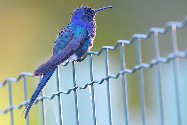 Blauer Gabelschwanzkolibri, Swallow-tailed hummingbird, Eupetomena macroura